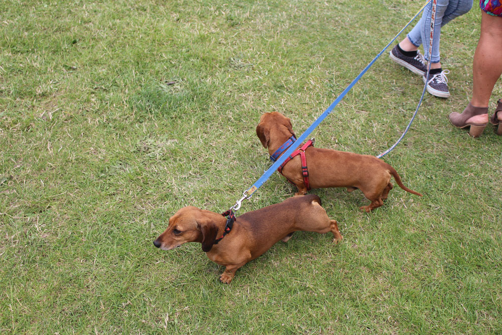 Awww Twin Dachshunds!